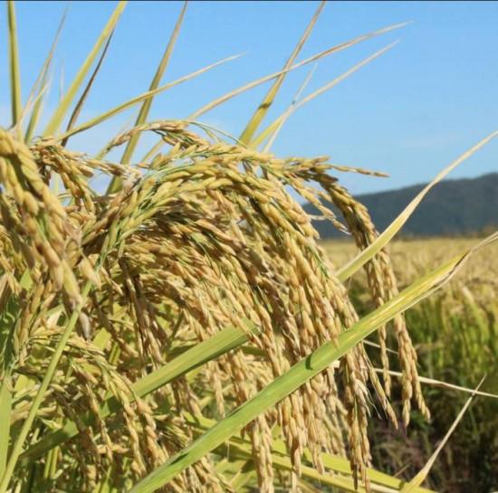东北大米,大米采购,为您生产出健康、自然的优质大米