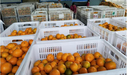 水果罐头知名品牌天同食品迎柑橘大丰收 全力投入生产