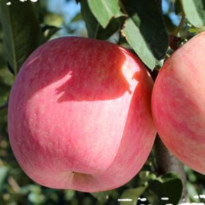 榮成蘋果:自由呼吸 自然紅
