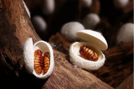 双宫茧蚕丝被原材料揭秘:长丝绵与短丝棉制蚕丝被的3大本质区别