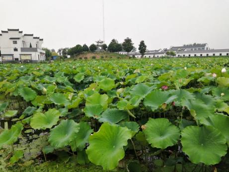 安徽农业大学赴铜陵暑期调研:建设美丽乡村,落实乡村振兴战略