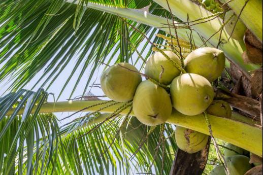 """生榨椰子汁要能品尝出椰子的""""原汁原味""""!"""