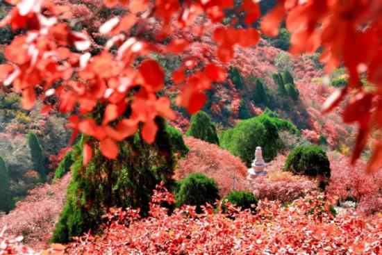 石门坊红叶如丹,在潇潇秋风里层林尽染