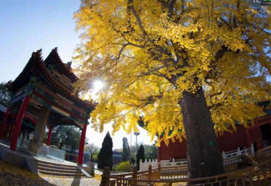 沂山東鎮廟,古剎與銀杏將晚秋渲染到了極致