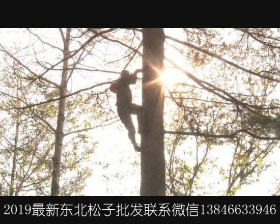 2019年黑龙江省伊春市东北松子上千斤大颗粒批发!价格优惠直销!