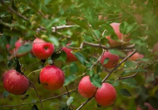 丰巢爱心助农,邀您品尝来自高原上的冰糖心苹果