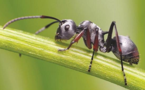 純蟻粉膠囊  健康長壽的好寶貝